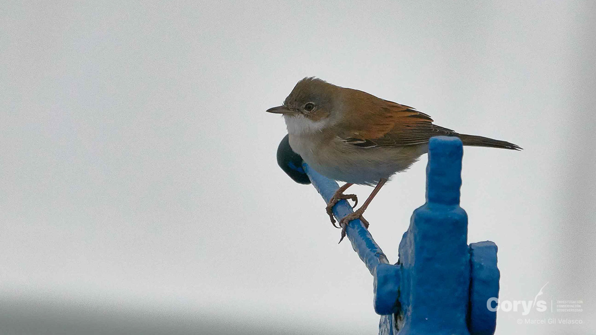 Curruca zarcera / Common Whitethroat (Sylvia communis). ©Marcel Gil-Velasco (Cory's)