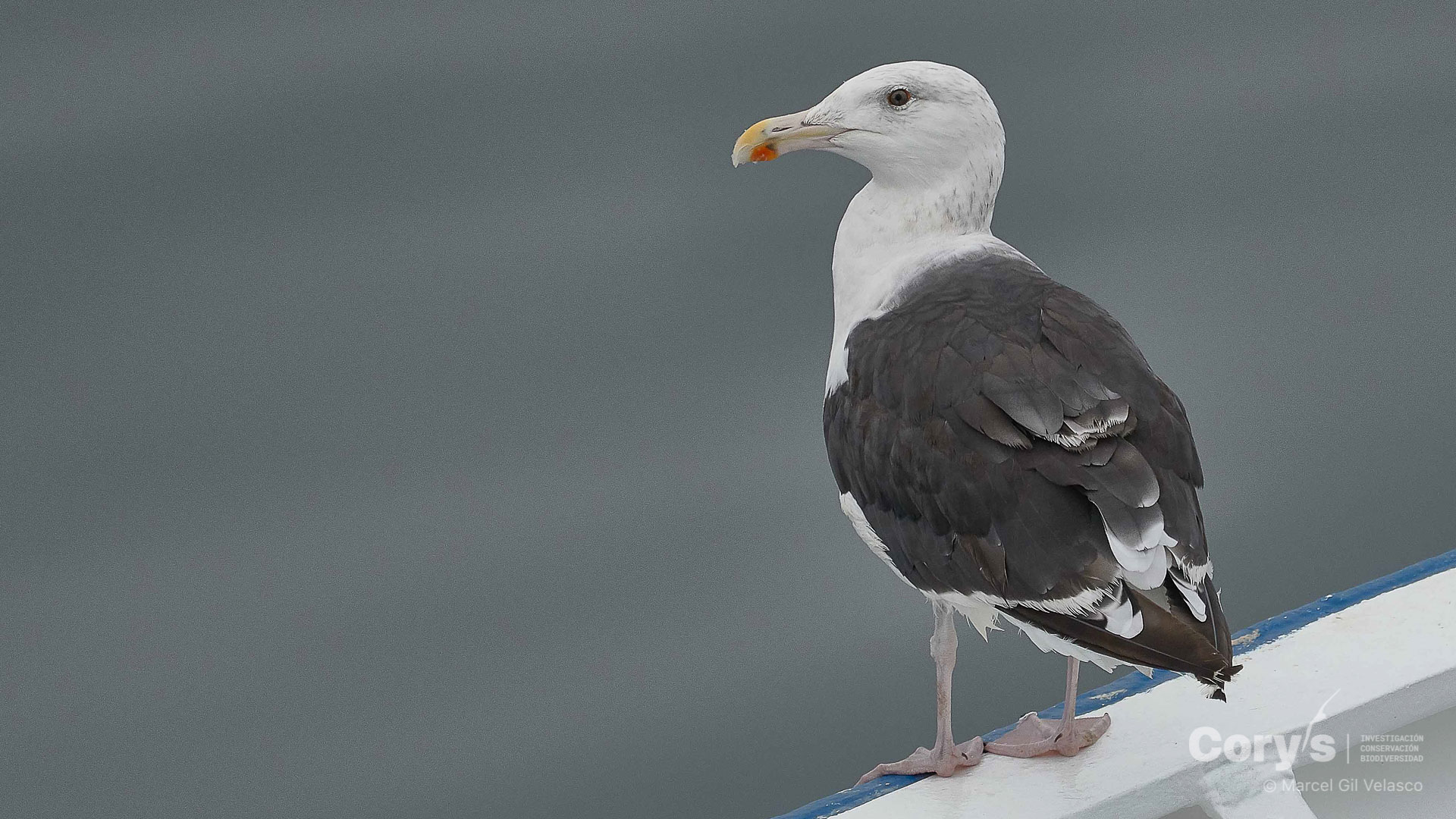 Gavión atlántico / Great Black-backed Gull (Larus marinus). ©Marcel Gil-Velasco (Cory's)